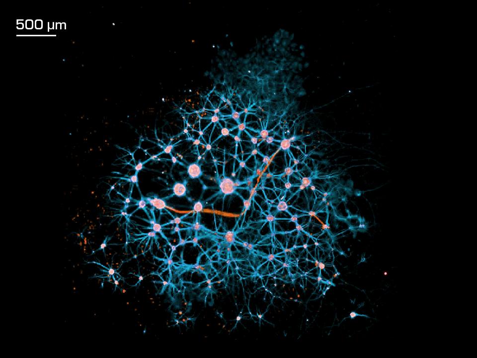bioprinted neuron network